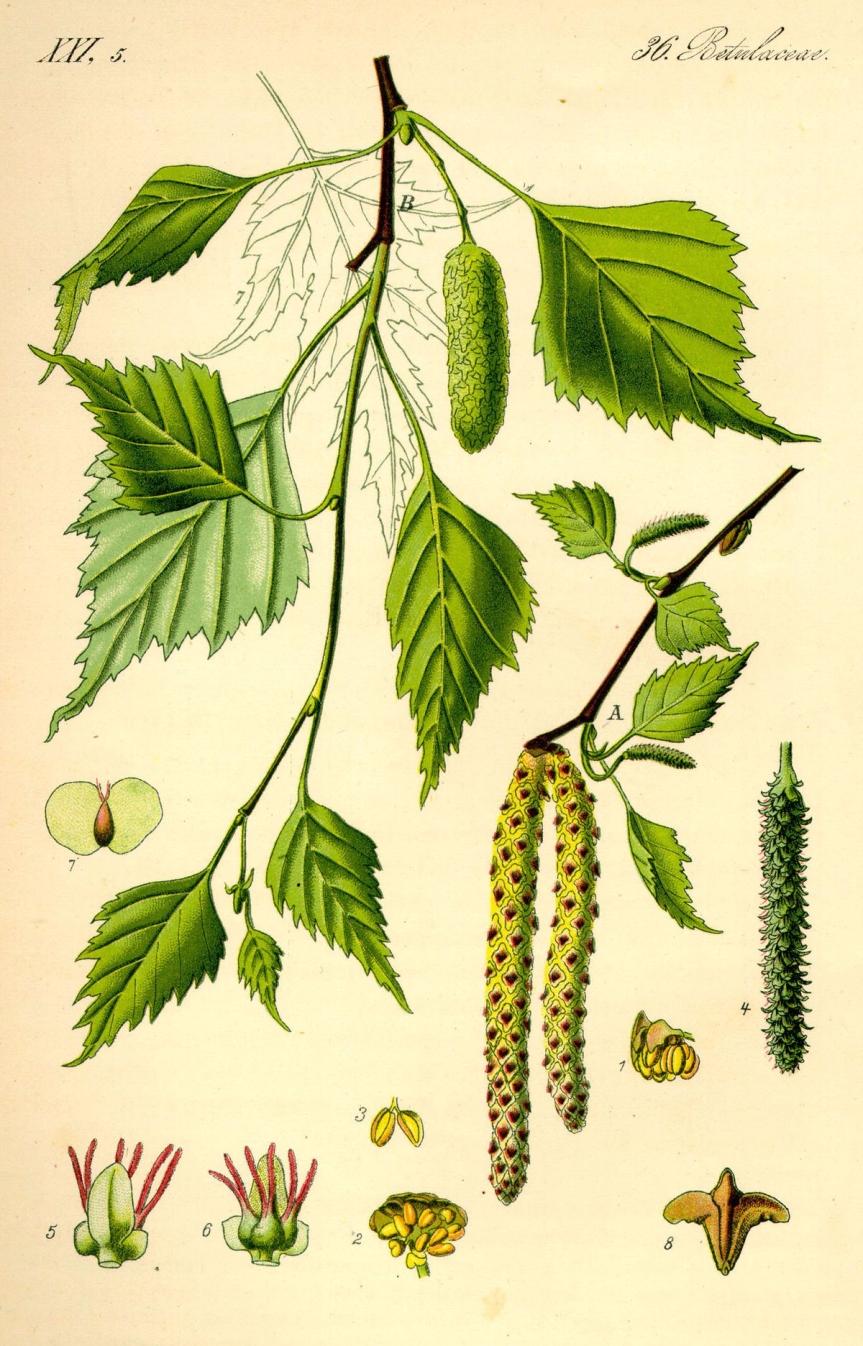 Abedul (Betula Pendula)